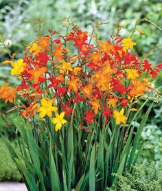 Crocrosmia is a favorite late summer bloomer in my garden. The long arching flower stem lends an exotic touch to flower arrangements.