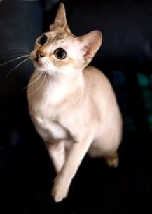 Looking for Singapura Cat Breeders :,free kittens michigan,free cats ... - #singapura - See more stunning picture of Singapura Cat Breeds at Catsincare.com!