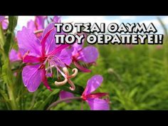 Θεραπευτικό τσάι που υπάρχει σχεδόν παντού στην Ελλάδα! - YouTube Herbalism, Healing, Plants, Youtube, Herbal Medicine, Plant, Youtubers, Youtube Movies, Planets