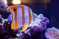 Pet Saltwater Fish Species | Copperband Butterflyfish (Chelmon rostratus) Live Saltwater Fish
