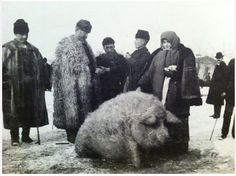 This video from 1931 shows Mangalitsa pigs in Hungary. It reminds me of these photos of a modern farm in Hungary - and these Spanish vid. Wooly Pig, Wooly Bully, Sheep Pig, Vintage Photo Album, Vintage Photos, Mangalitsa Pig, Farm Animals, Cute Animals, Hungarian Dog