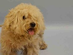 PULLED BY NEXT STOP FOREVER - 07/23/15 - NEW YORK – TO BE DESTROYED 07/20/15 - #A1043377 - Manhattan - FEMALE WHITE POODLE TOY AND SHIH TZU MIX, 2 Yrs - STRAY ON 07/09/15