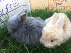 My cousin's baby angora bunnies from their last litter <3