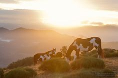 APN mares in the mountains - American Paint Horses mares in the mountains ay sunrise