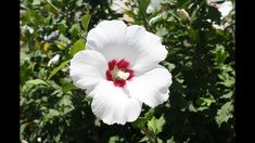 Make a beautiful Rose of Sharon yourself! https://www.youtube.com/attribution_link?a=DbsLLzfDuos&u=%2Fwatch%3Fv%3DPhlZgskWGAg%26feature%3Dshare