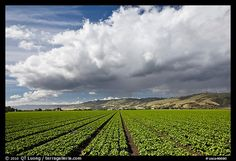 Field of vegetable and cloud. Watsonville, California,we are the salad bowl of the world producing most of the world's produce, here in Santa Cruz CA