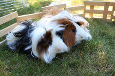 Peruvian Guinea Pig – Peruvian guinea pig is considered one of the most attractive breeds. Peruvian Guinea pig as the name suggests, is native from Peru and a… Baby Guinea Pigs, Guinea Pig Toys, Guinea Pig Care, Animals And Pets, Cute Animals, Small Animals, Peruvian Guinea Pig, Guine Pig, Guinea Pig Breeding
