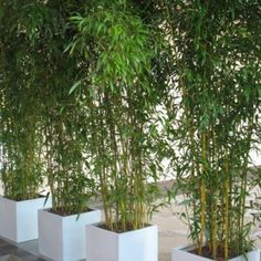 living bamboo wall - Google Search