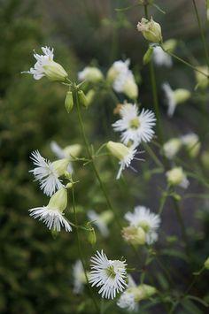Starry Catchfly (Silene stellata)