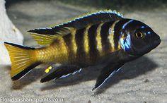 Four Fish Colony Pseudotropheus Elongatus Chailosi inch African Cichlid Aquarium Fish For Sale, Tropical Aquarium, Tropical Fish, Cichlid Aquarium, Cichlid Fish, Malawi Cichlids, African Cichlids, Oscar Fish, Fish Patterns