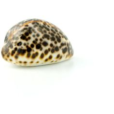 macro photo of a seashell 2 ❤ liked on Polyvore featuring shells, backgrounds, decor and seashell