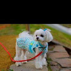 Perfectly groomed Maltese :)