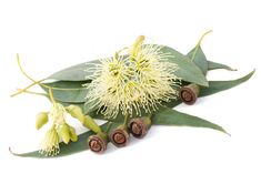 Photo about Eucalyptus branch isolated on white. Image of isolated, eucalypt, natural - 27263149 Eucalyptus Oil Uses, Eucalyptus Shower, Eucalyptus Branches, Eucalyptus Essential Oil, Natural Essential Oils, Copaiba Oil, Shower Foam, Feeling Under The Weather, Royalty Free Pictures