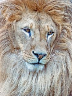 Lion by SejmenovicMevludin #animals #animal #pet #pets #animales #animallovers #photooftheday #amazing #picoftheday