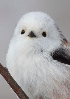 画像 : 雪の妖精!可愛すぎる鳥「シマエナガ」 - NAVER まとめ                              …