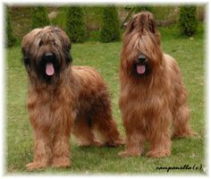 France. Berger de Brie (Briard) fawn uncropped ears, cropped ears