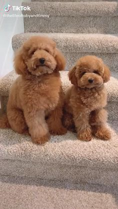 Cute Fluffy Puppies, Super Cute Puppies, Cute Little Puppies, Cute Little Animals, Cute Dogs And Puppies, Cute Funny Animals, Small Puppies, Doggies, Toy Poodle Puppies