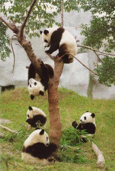 panda bear tree