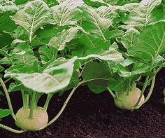 To grow kohlrabi: Tips for a good harvest - Gärten - Garten Herb Garden, Garden Pots, Vegetable Garden, Garden Types, Diy Garden Projects, Diy Garden Decor, Gardening For Beginners, Gardening Tips, Amazing Gardens