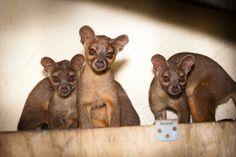 Houston Zoo fossa pups