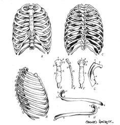 Rib cage, sternum, ribs by eleonoraferrigno