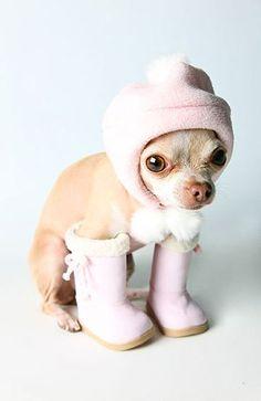 Chihuahua preparado para el invierno.  ¿Adónde va y qué va a hacer?