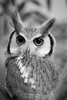 Owl. °