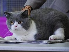 british shorthair -