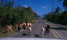 Stop and Goat traffic in Coral Bay, St. John, Virgin Islands (USVI)