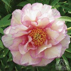 Plant Profile for Paeonia 'Smith Family Jewel' - Itoh Hybrid Peony Perennial