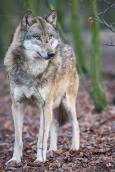 ˚Eurasian Wolf Eurasian Wolf, Wolf Mates, Husky, Wolf Warriors, Wolf World, Wild Animals Photos, Wolf Photos, Howl At The Moon, Beautiful Wolves