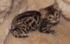 Bengal Cats For Sale | Bengal,Missouri Breeder_Manx,Abyssinian,kittens for sale