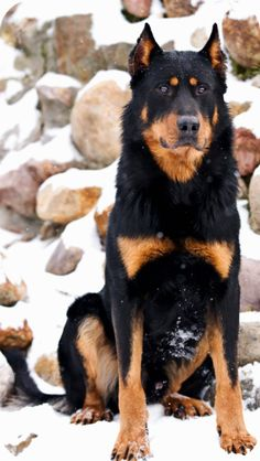 regal Beauceron