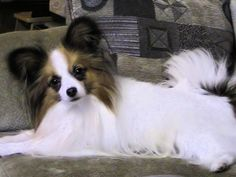 The Papillon is actually a really intelligent and self-assured dog which has a very simple time understanding new tricks.The Papillon originated inside the 16th century, a well-known lap breed of nobles and aristocracy in Europe.