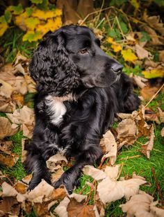 Scooby - Black working Cocker Spaniel.
