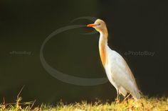 Cattle Egret free image