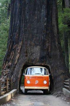 Arbol milenario y furgoneta hippy : )