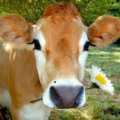 Beautiful Jersey cow - Cow!  With Daisy!  Her name must be Daisy!  I love cows!