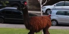 Three teens in Trinidad, Colo., have been arrested in connection with the killing of a llama.  Sally the llama was found near Atchison Canyon with her neck slashed, according to 9 News.  A necropsy found she had been shot with a bow and arrow prior...