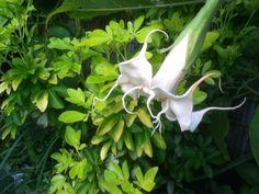 Brugmansia Angels trumpet