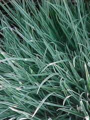 MESIHEINÄ Holcus mollis 'Albovariegatus' - Plant Finder