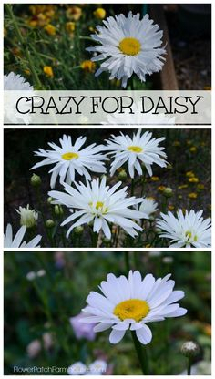 Ode to the Daisy