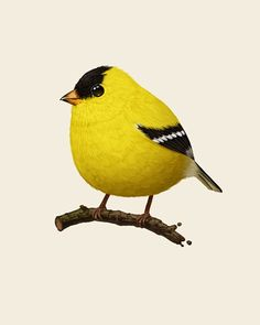 """American Goldfinch  Mike Mitchell glycee print - got it for mom for her birthday! Part of his """"Fat Birds"""" series. I love it."""