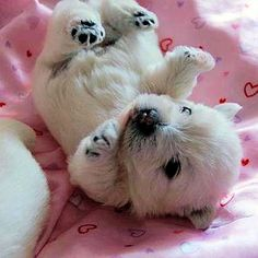 Nothin cuter than a westie puppy it looks like a baby polar bear :)