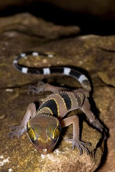Cyrtodactylus macrotuberculatus (Gekkonidae), although is better known as Tuberculate Bent-toed Gecko, Langkawi. °