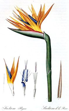 Botanical - Flower - Bird of paradise