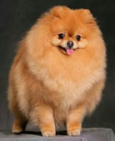 """Lulu da Pomerania Hope you're doing well.From your friends at phoenix dog in home dog training""""k9katelynn"""" see more about Scottsdale dog training at k9katelynn.com! Pinterest with over 20,500 followers! Google plus with over 154,000 views! You tube with over 500 videos and 60,000 views!! LinkedIn over 9,200 associates! Proudly Serving the valley for 11 plus years"""