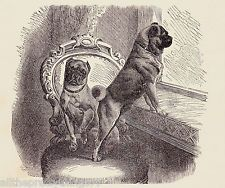 PUG Puppy DOGS on Victorian Chair by Window Vintage 1898 MATTED Picture