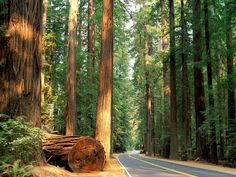 Redwood Forest, CA. Awesome drive!