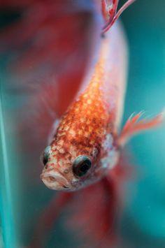 Lovely Betta macro shot by Julien #fish #bokeh